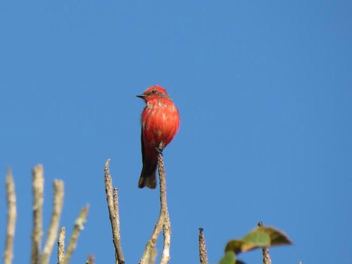 O príncipe, um dos pássaros registrados no Parque da Cidade e presente no calendário da DAE