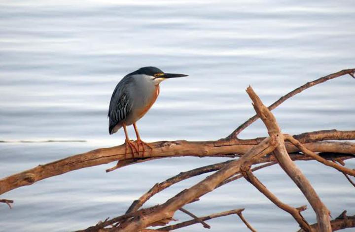 O socozinho foi outra ave registrada por Renan Augusto Bonança e usada no calendário