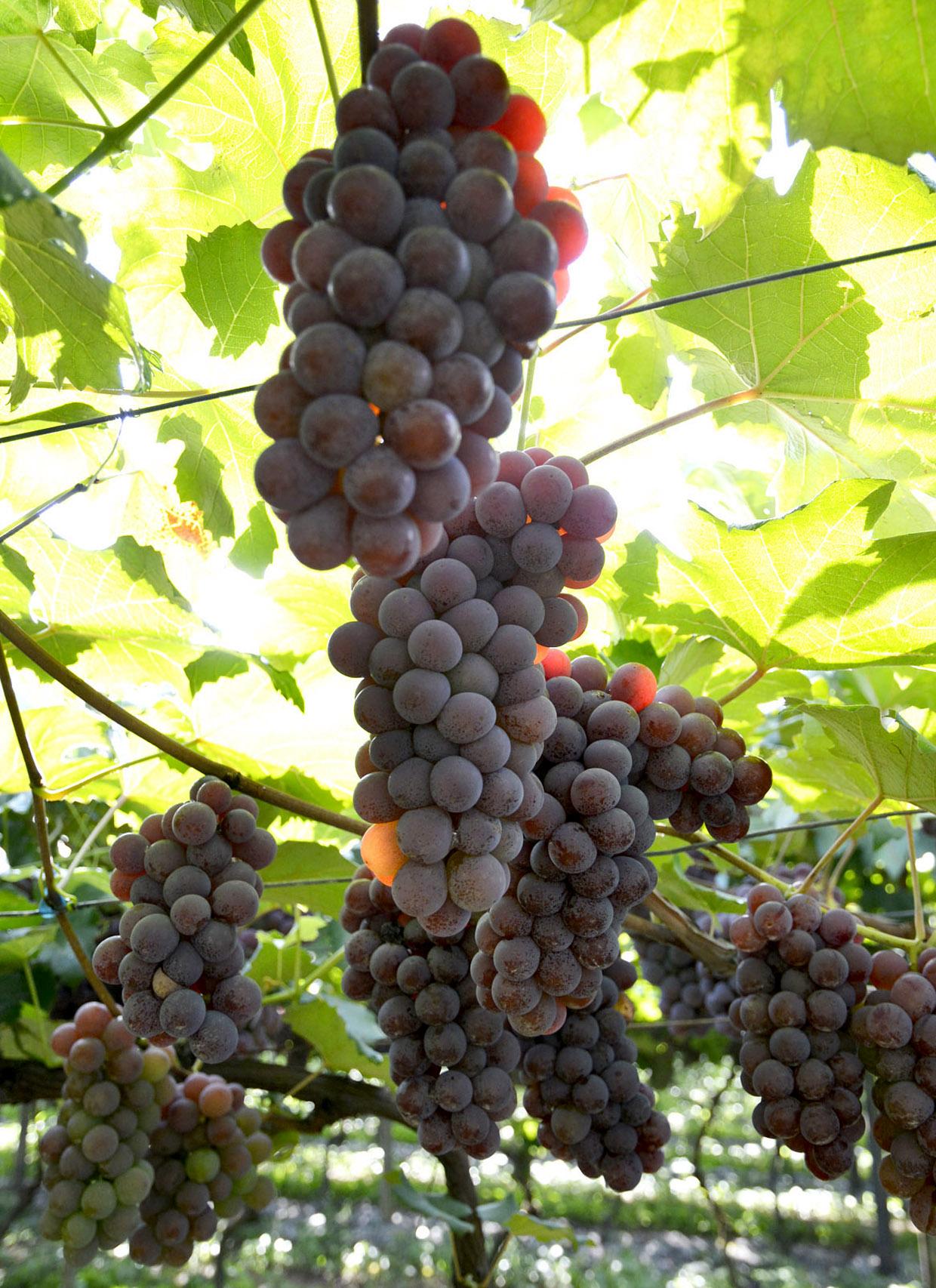 A uva Niagara Rosada é o tema do concurso de fotografias