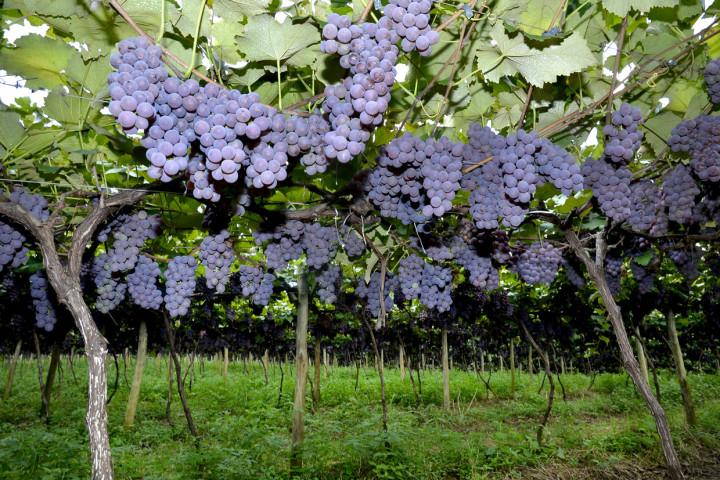 Plantação da uva Niagara Rosada, tema de fotografias que prometem surpreender na Festa da Uva