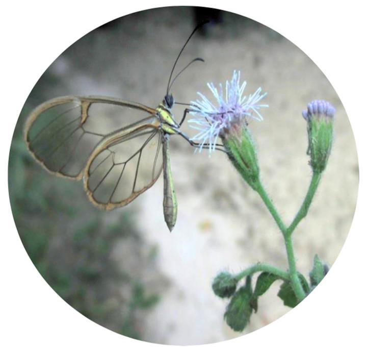 Arte da planta Trichogoniopsis adenantha, pesquisada por Luiz Rezende na Serra do Japi