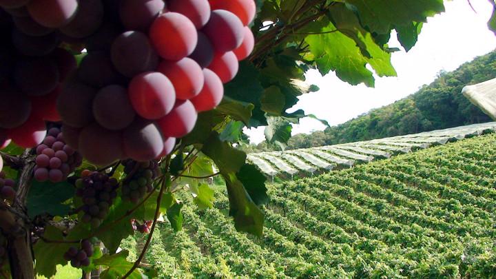"""Plantação de uva na região do Traviú: controle no uso da """"poda temporã"""" em parte da plantação"""