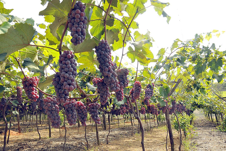 A Niagara Rosada é uma uva única no mundo por sua origem em Jundiaí