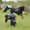 Cão da GM pula sobre guarda em treinamento
