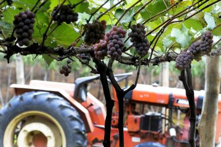 Trator com parreira à frente com cachos de uva