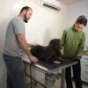 Cachorro em mesa é analisado por veterinária