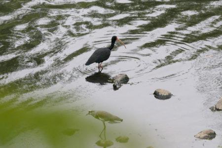 Patos, garças e outras aves na margem do rio Jundiaí