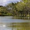 lagoa com patos nadando e árvores ao fundo