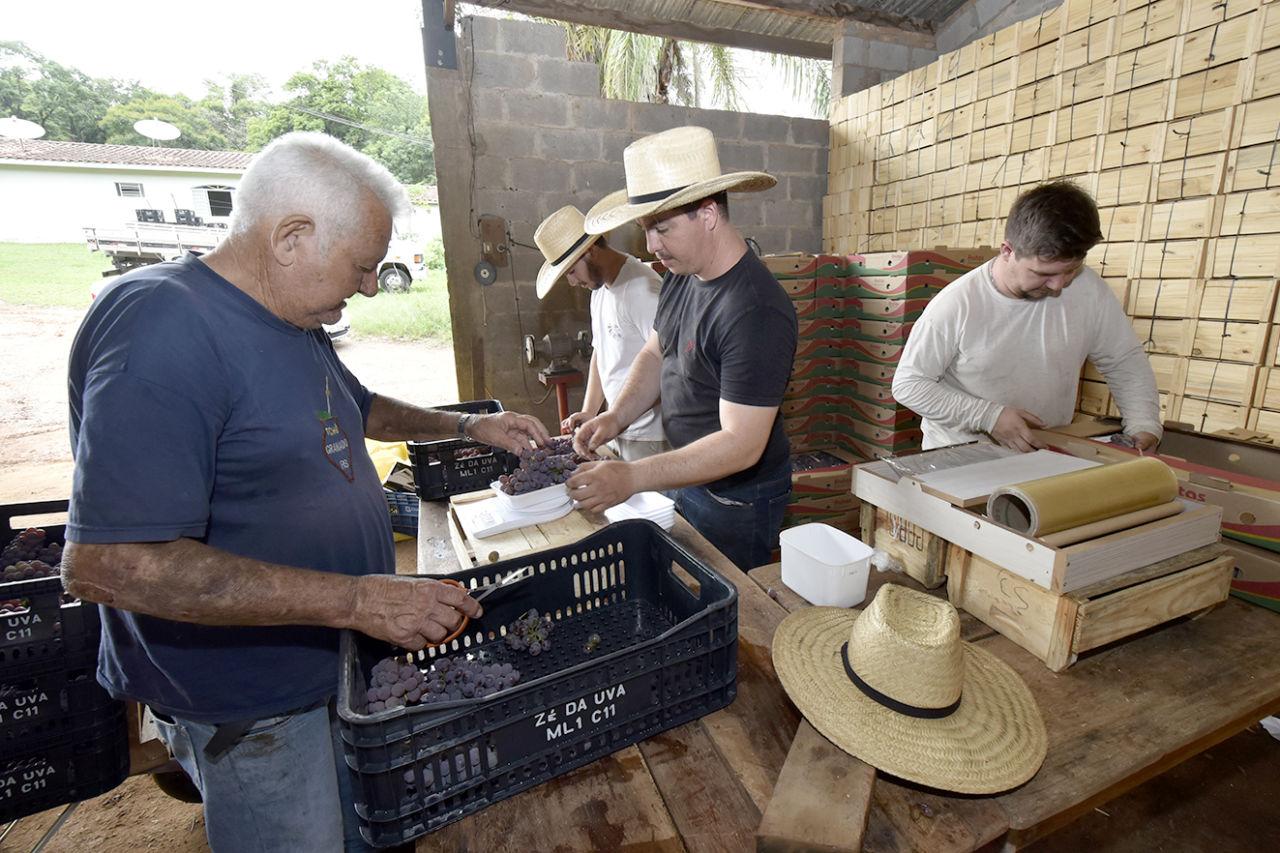 Quatro homens, dois de chapéu, trabalham em pé em torno de mesa, manuseando uvas, com caixas de madeira e papelão ao fundo