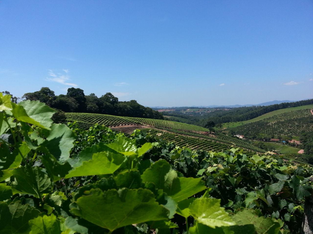 Imagem com céu claro, morros com plantações e foco nas parreiras de uva