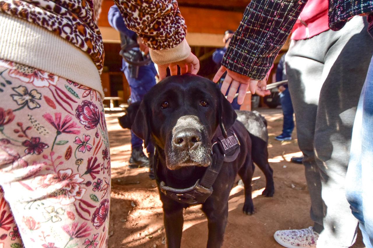 Cachorro da raça Labrador de cor preta olhando para a câmera, com detalhes das mãos e pernas de crianças em volta, fazendo carinho