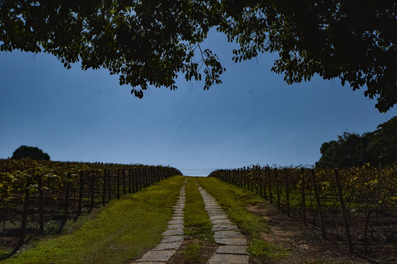 Imagem mostra caminho entre parreiras de uva. O céu está azul.