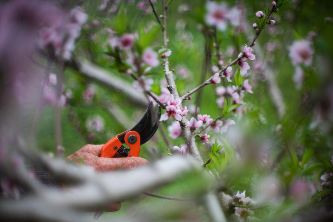 Árvore com galhos finos, com pequenas flores com duas tonalidades. Mão de homem segura alicate preto e laranja e faz a poda da árvore, que é um pessegueiro.
