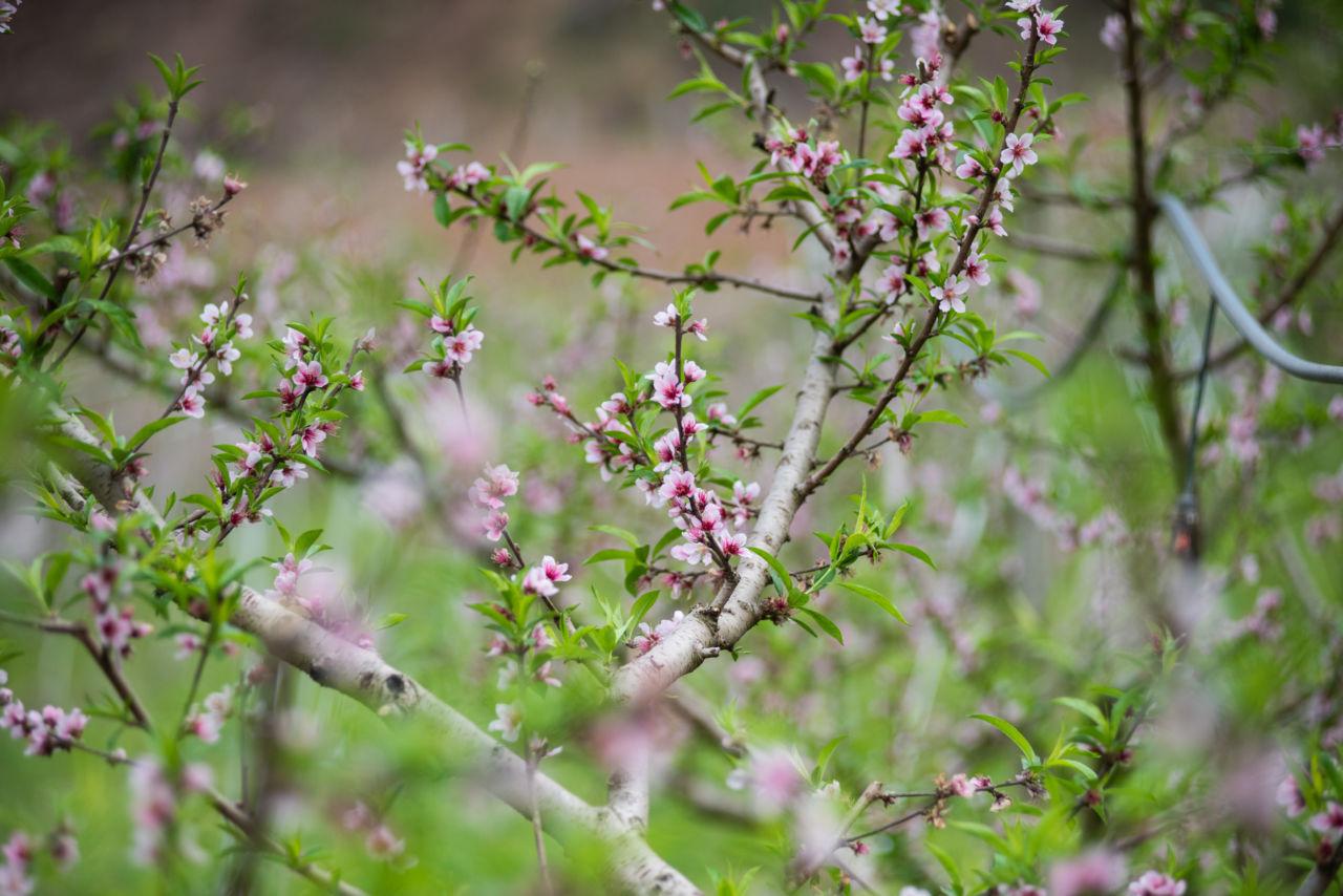 Árvore com galhos finos de onde saem pequenas flores com duas tonalidades de rosa. A árvore é um pessegueiro